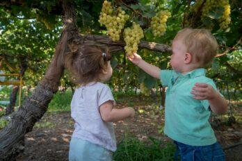 הכרם בלכיש – בציר ענבים
